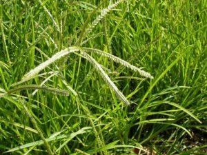Gội đầu bằng cỏ mần trầu - Spa gội đầu thảo dược Cỏ Thơm